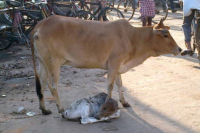 Спит теленок возле мамы.